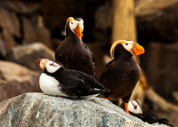 HORNED & TUFTED PUFFINS 2