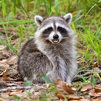 RACCOON CUB 2