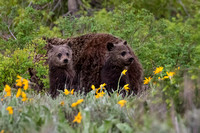 GRAND TETON GRIZZLY CUBS